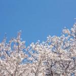 2016年行ってみたい京都桜の名所。見頃はいつ?